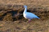 snow goose-9158 800.jpg