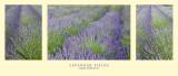Lavender Fields Triptych