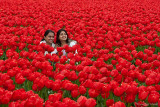 Life May Just be...a Bed of Tulips