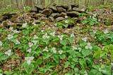 white trilliums.jpg