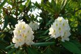 rosebay rhododendron.jpg