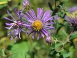 purple asters.jpg