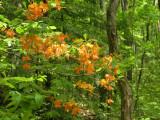flame azaleas.jpg