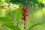 cardinal flowers.jpg