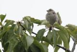 Fluffy Finch