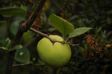 Quince Fruit