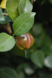 A Camellia Seed Pod