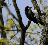 The Acorn Woodpecker