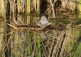 Nesting Pied-Billed Grebe