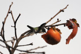 Hummingbirds also like Persimmons