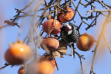 Downy's like Persimmons