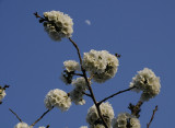 Cherry blossoms and the Quarter Moon
