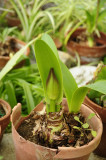 Future Amaryllis flowers