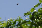 Loitering Carpenter Bee