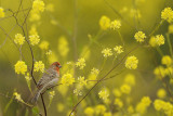 Spring Time Finch