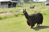 The gentle Llama