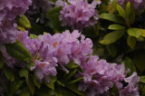 Soggy Rhododendron