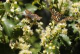 Edith�s Checkerspot Butterflies