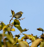 A Yellow Rumped Warbler
