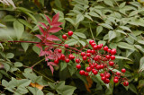 Berries of the Chinese Bamboo