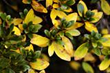 Azaleas Fall Colors