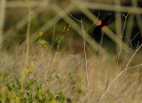 Escaping Red Winged Black Bird