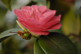 Camellia going to Seed