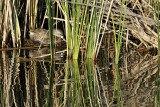 Nesting Pied-Billed Grieb