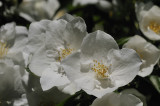 A cluster of Philadelphius blossoms.