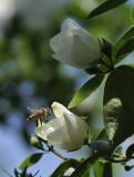 Visiting Bee