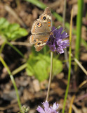 Serrated Onion Wildflower and Butterfly