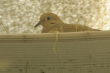 A Second Nesting Mourning Dove