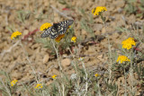 A Western Checkerspot Butterfly