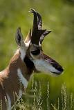 07-11-08 Custer Pronghorn Antelope c  090.jpg