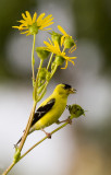08-21-08 American Goldfinch 054.jpg