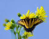 08-21-08 Swallow tail Butterfly  013.jpg