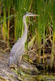08-21-08 Heron  073.jpg