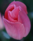 Spring Tulip se  015.jpg