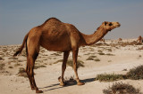 Camel Farming near Alkhor North Beach located behind Alkhor Community