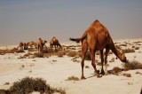 Camel Roaming in Alkhor North Beach