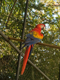 Red-lorred Parrot _1078648.jpg