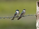 Mangrove Swallows _1189481.jpg