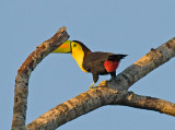Keel-billed Toucan _4029960.jpg