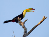 Keel-billed Toucan _4029963-2.jpg