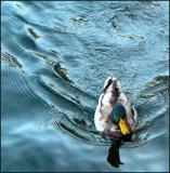 Mallard in Blue Water