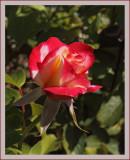 Wild Rose Bush