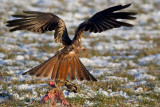 Red kite with a hare