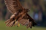Wild Birds of  Prey