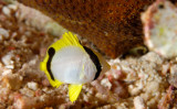 Juvenile Spotfin Butterflyfish