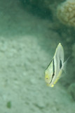 Juvenile Foureye Butterfly Fish